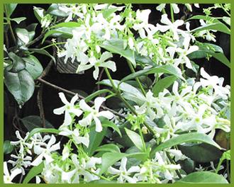 Star-Jasmine-2.png