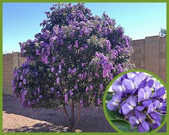 Purple flowering trees in arizona sevenstonesinc top trees for purple flowers in spring and summer mightylinksfo