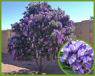 Top trees for purple flowers in spring and summer texas mountain laurelg mightylinksfo