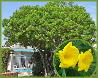 Top trees for yellow flowers in spring and summer now we may sound crazy but there are indeed flowering trees that are low maintenance and one of the best for our region is the thevetia thevetia mightylinksfo