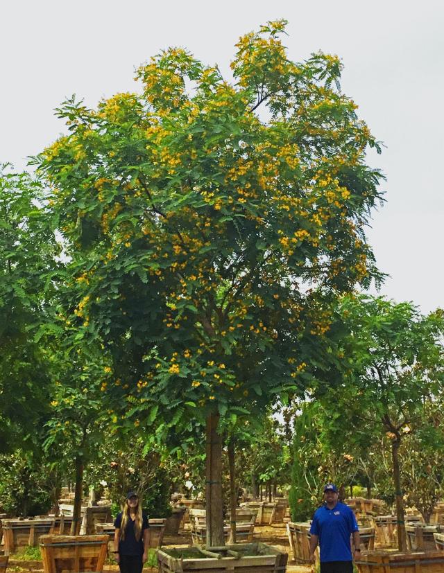 TIPUANA_TIPU_TREE