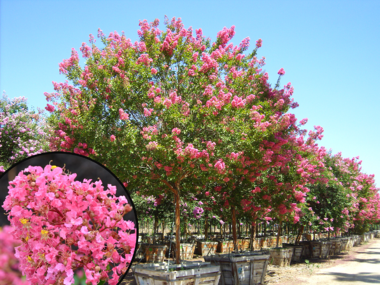 Crape Myrtle with Miami Pink Flowers
