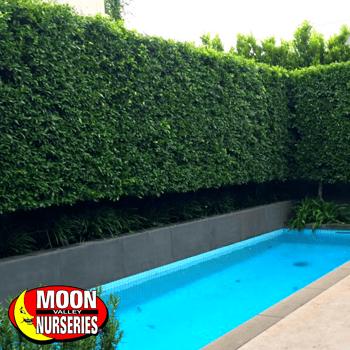 Indian Laurel Ficus Column Hedge around Pool