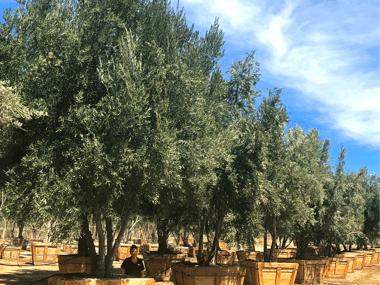 olive tree farm moon valley nurseries