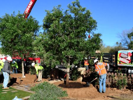 planting specimen trees