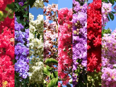 Crape Myrtle Flower Colors