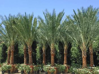 Resort style date palms™