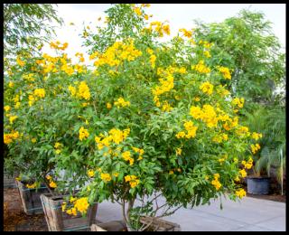 Arizona Yellow Bells - Tecoma Stans