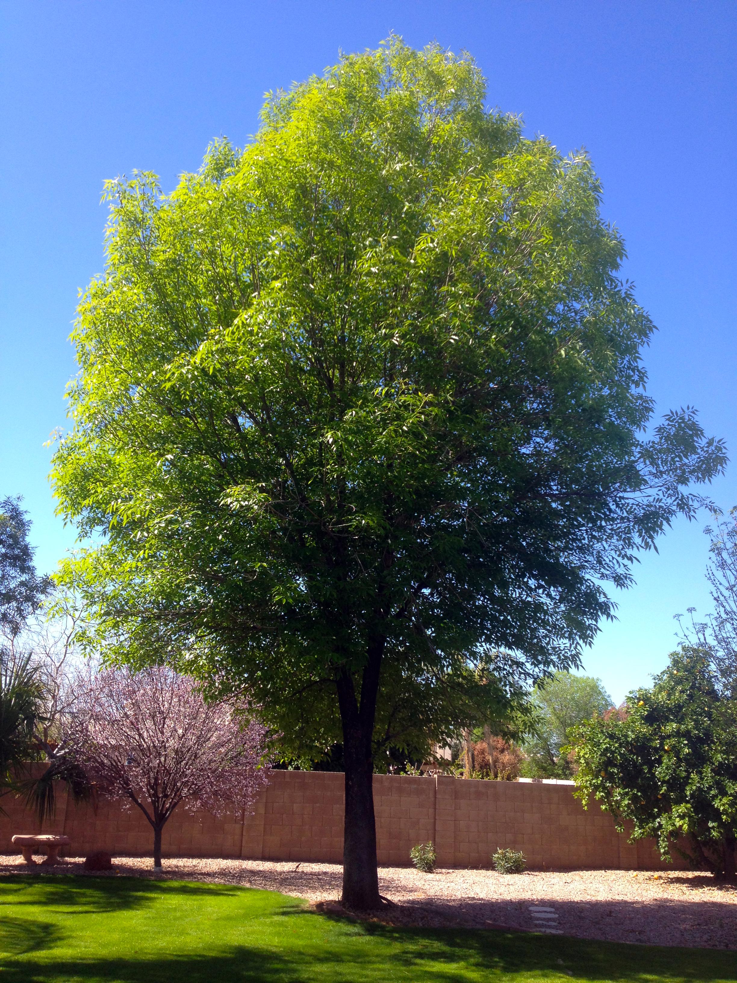 evergreen_ash