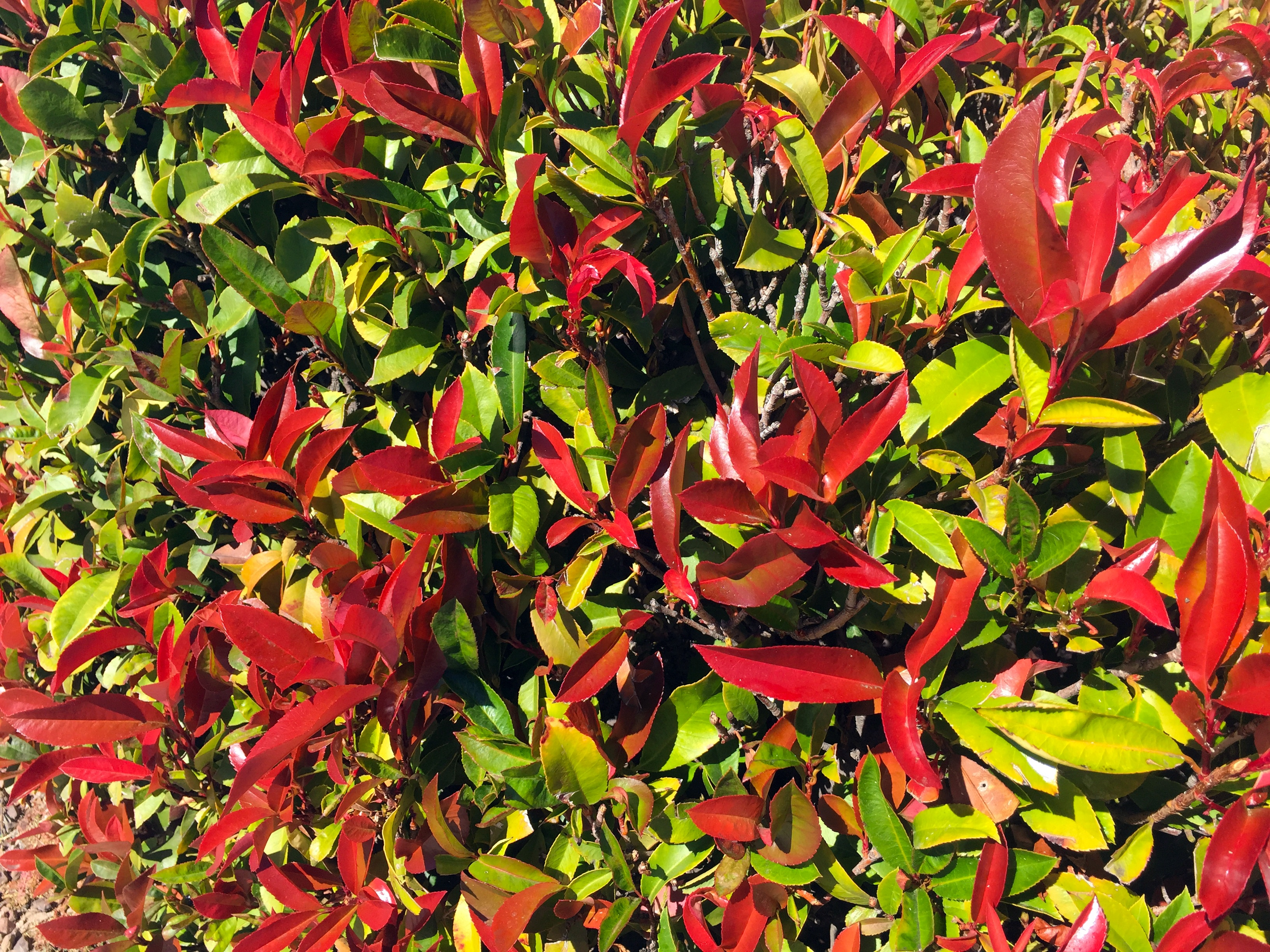red_tip_photinia