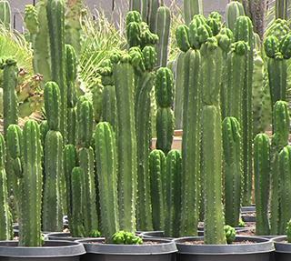 _san_pedro_cactus