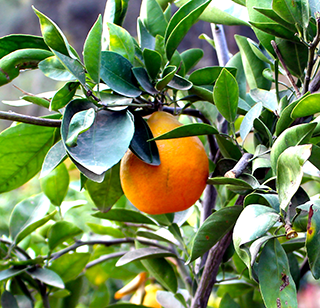 _tangerines__.png