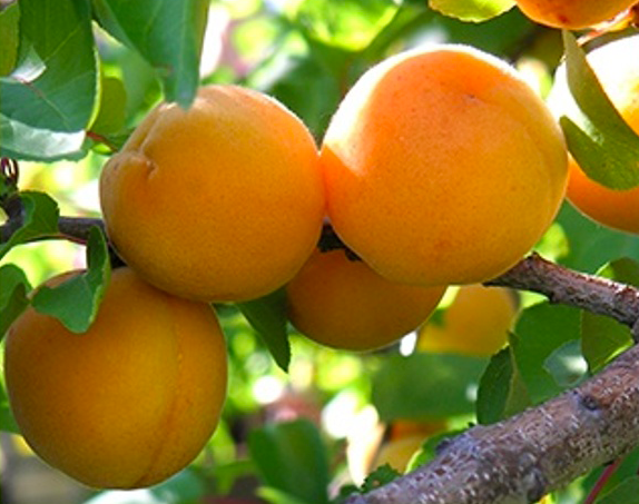 apricots_.png