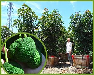 avocado-1.png