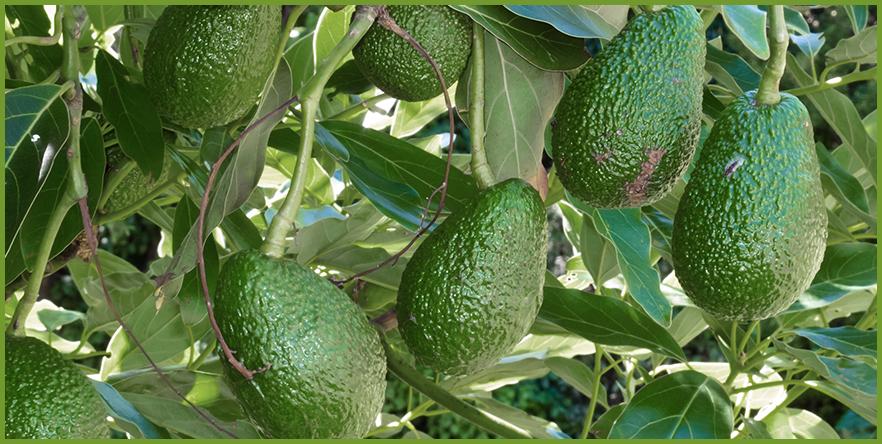 avocado-2.png