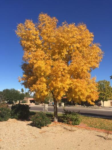 arizona ash tree fall color tree arizona landscape