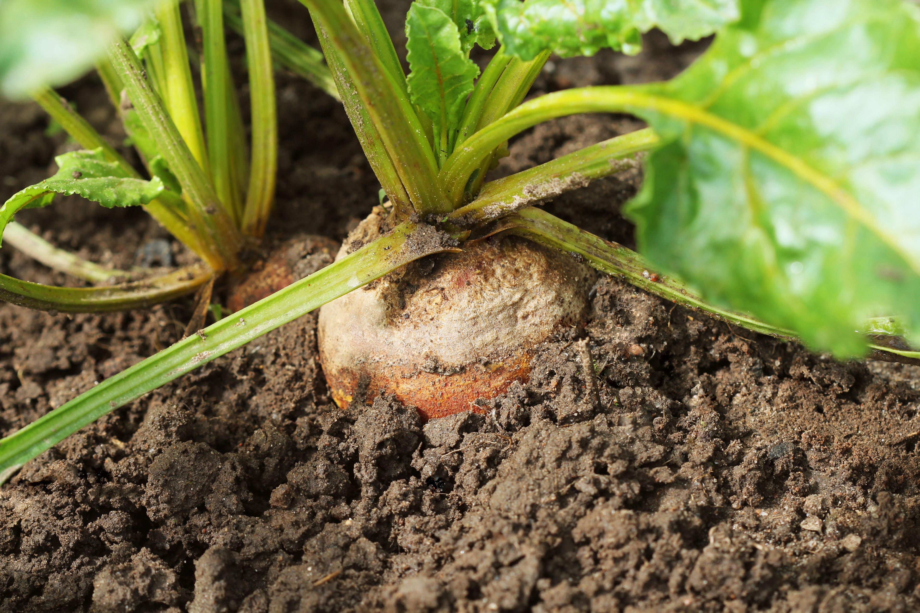beets_vegetable_garden