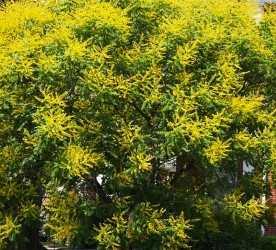 goldenrain_tree