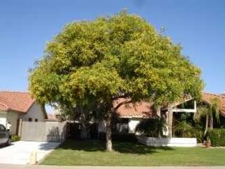 yellow_flowering_tree