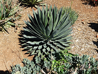 blue_glow_agave