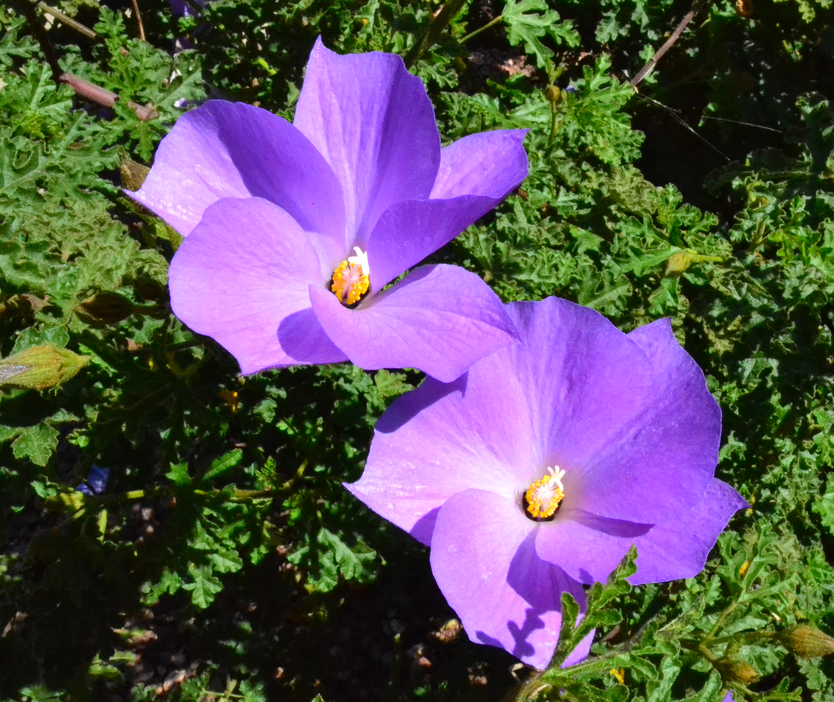 blue_hibiscus-2.png