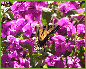bougainvilleabutterfly.png