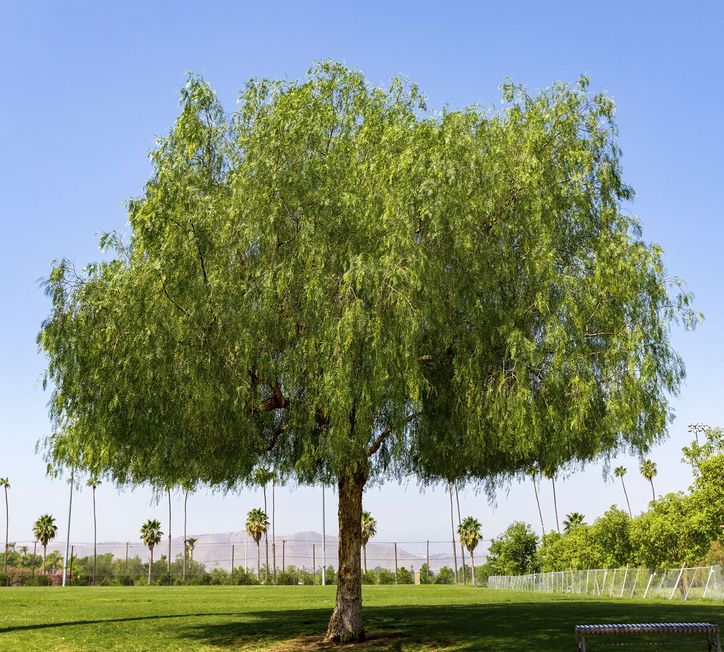 california_pepper_tree