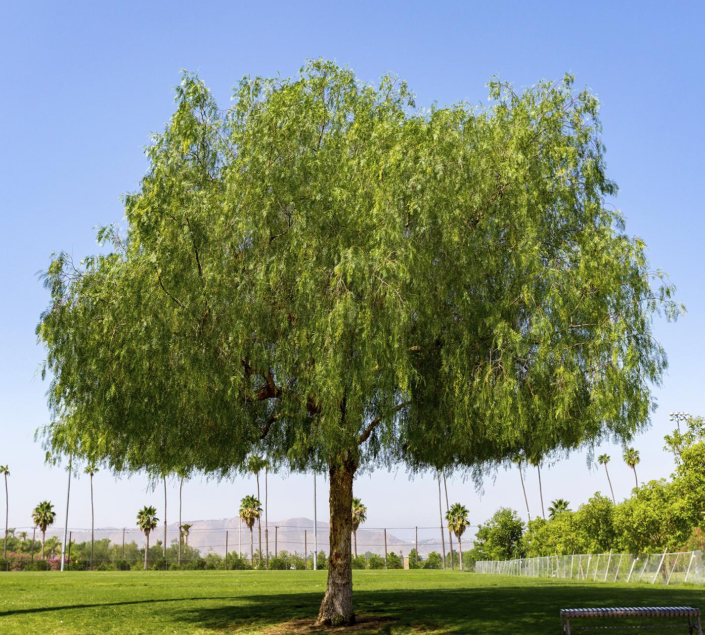 california_pepper_tree