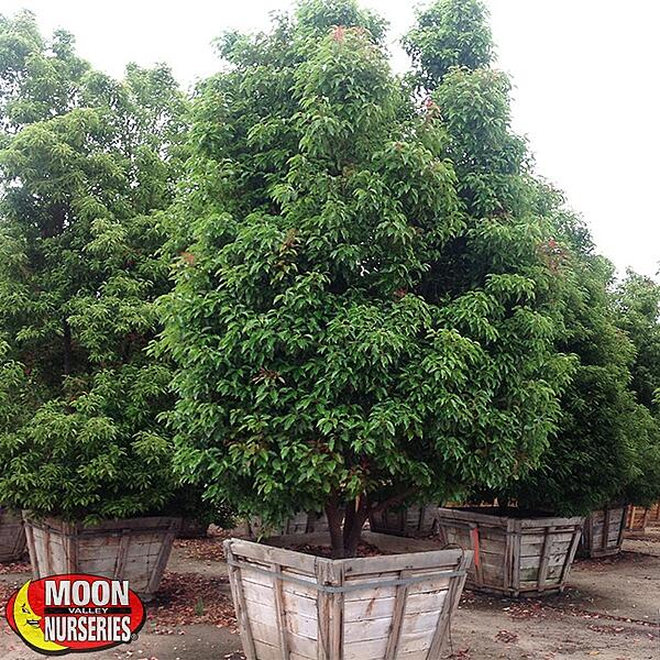 camphor tree in container at nursery