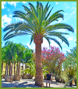 canary-island-date-palm.png