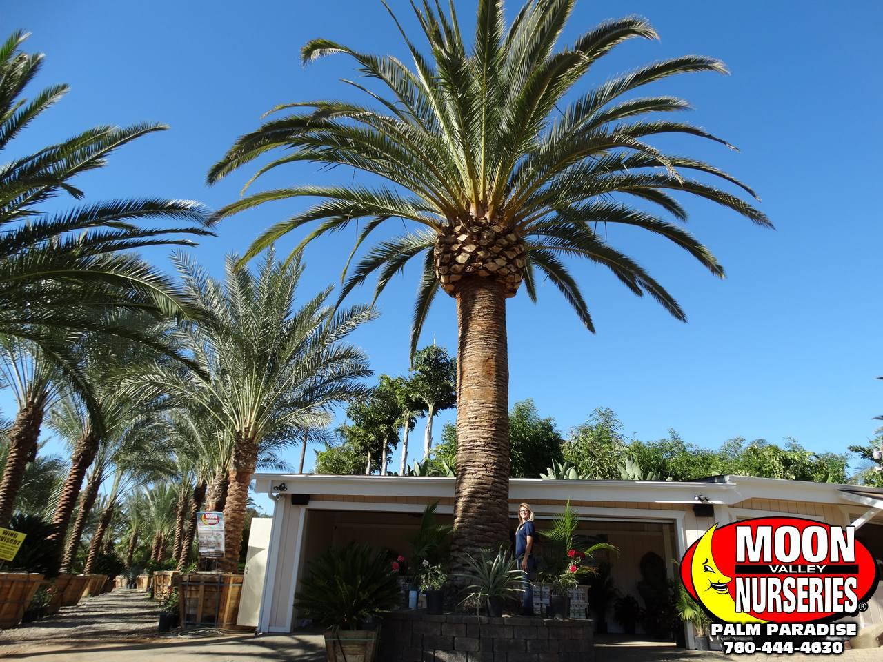 canary_island_date_palms-1