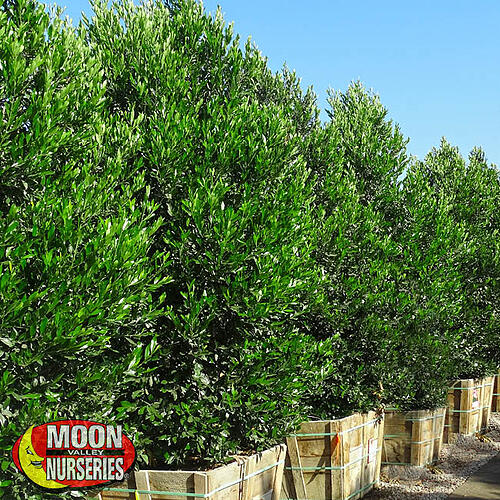 carolina cherry hedge row in nursery