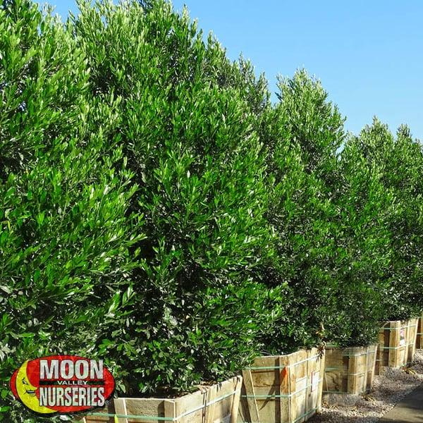 carolina cherry,  moon valley nurseries, landscape design, tree nursery, arizona, hedges