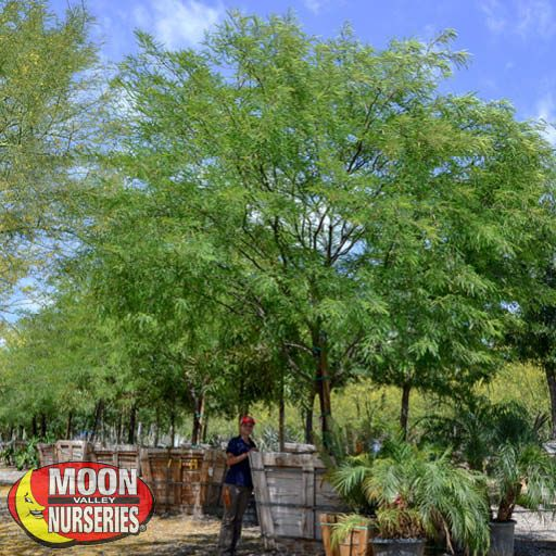 chilean_mesquite_cspec_farm_edited_2019_571x571