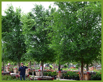 chinese-elm-5.png