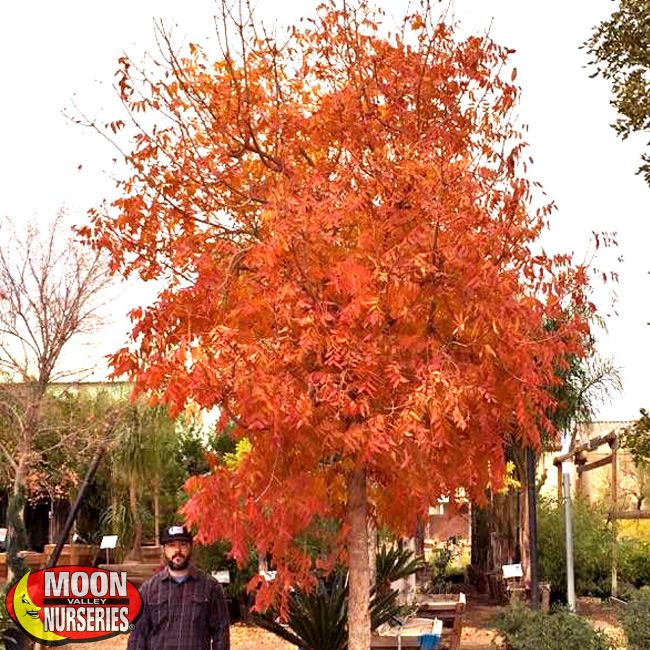 chinese_pistache_fall_color.jpg