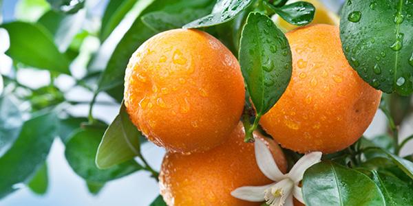 citrus header
