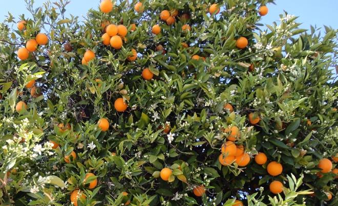 citrus_tree