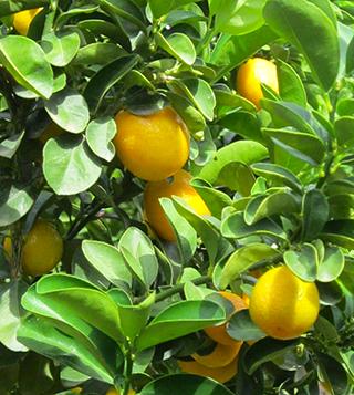 citrus_.png