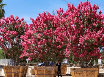 Pink Crape Myrtle Tree - Pink Crepe Myrtle Tree