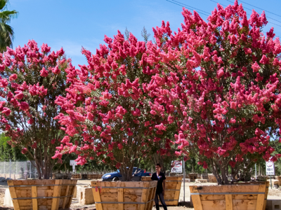 crape myrtle tree with pink flowers at nursery