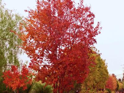 Crape Myrtle autumn leaves