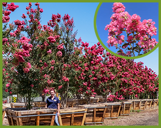 Top trees for pink flowers in spring and summer crape myrtle mightylinksfo