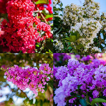 crape_myrtle_images_for_blog-1.jpg