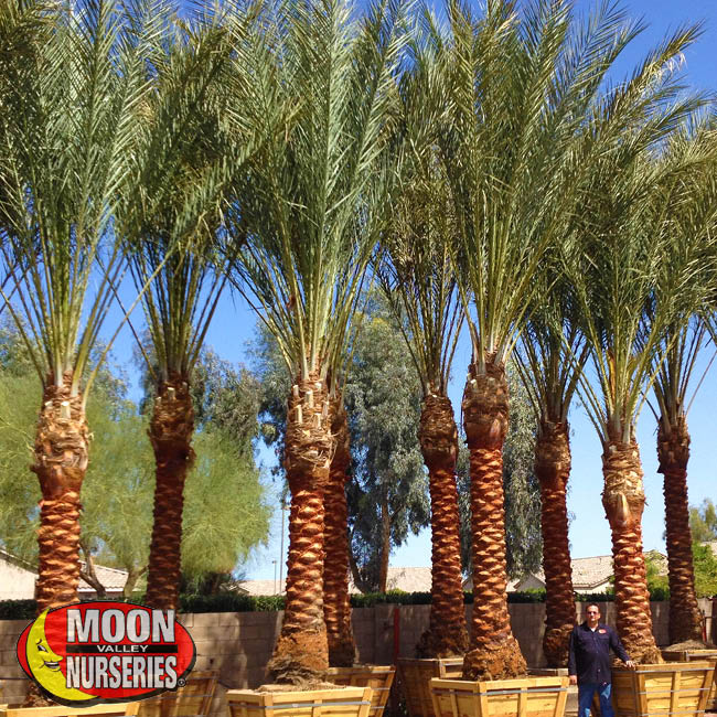 date palms-1