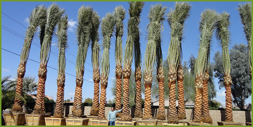 date-palm-5.png