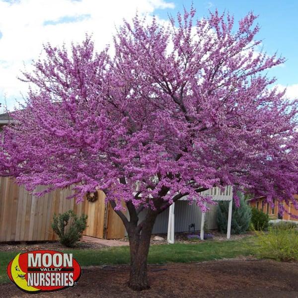 eastern-redbud, flowering tree, moon valley nurseries, houston, austin, texas
