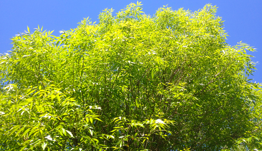 evergreen_ash_foliage.png