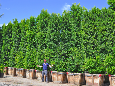 ficus columns for privacy hedges