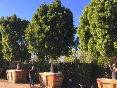Ficus nitida Indian laurel